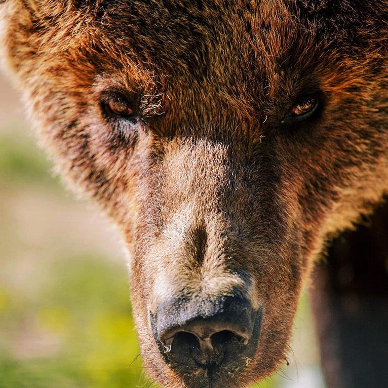 «Домажир» — притулок для ведмедів з покаліченими долями